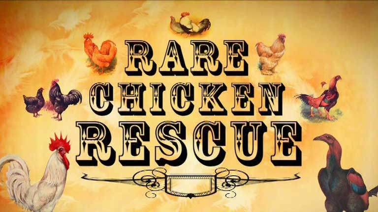 rare chicken rescue