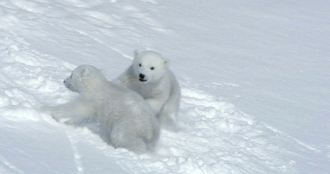 The Polar Bear Family and Me - Cubs at play
