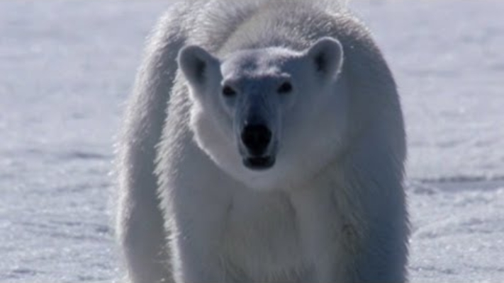 The Polar Bear Family and Me - Freda is on the hunt