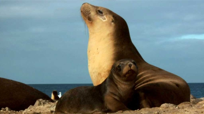 australian sealions - the ocean's supermum