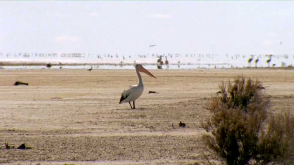 getting weary now - pelicans outback nomads