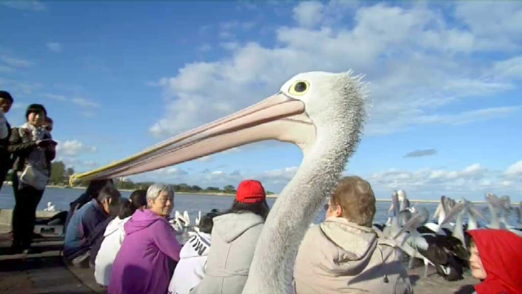 suburban pelicans - pelicans outback nomads