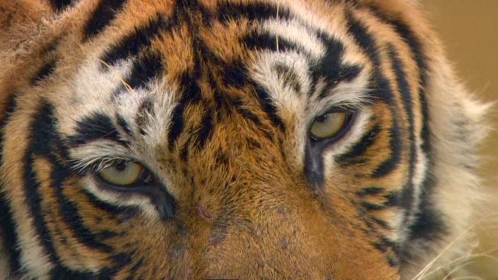 first morning - tiger dynasty