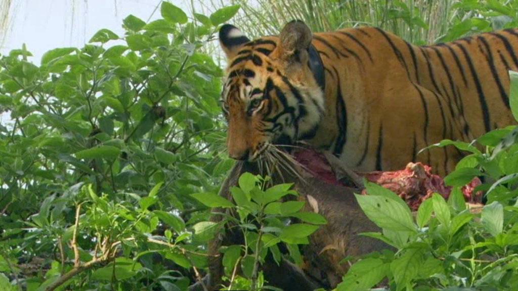 moving the kill - tiger dynasty