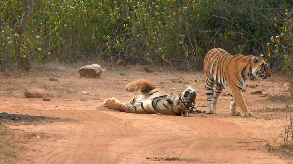 tiger romance - tiger dynasty