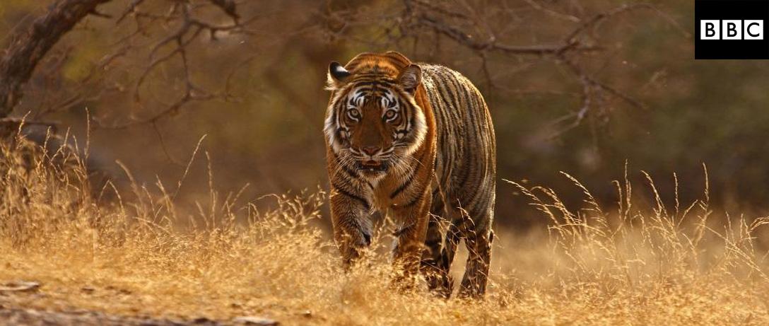 Tiger Dynasty / Return of the Tiger