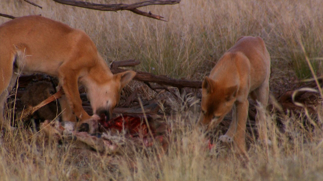 Dingo - Wild Dog at War - Dingo pups eating