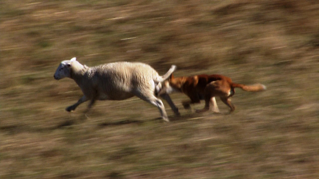 Dingo - Wild Dog at War - Dingo attacking sheep